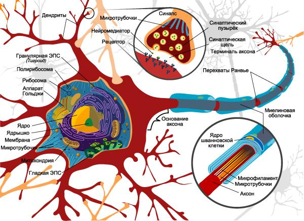 biologicalneuron